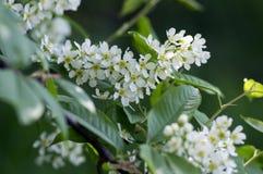Prunus padus czereśniowego drzewa ptasi kwitnienie podczas wiosny, grupy mali biali kwiaty i zieleni, opuszcza na gałąź Zdjęcie Stock