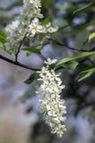 Prunus padus czereśniowego drzewa ptasi kwitnienie podczas wiosny, grupy mali biali kwiaty i zieleni, opuszcza na gałąź Zdjęcia Royalty Free