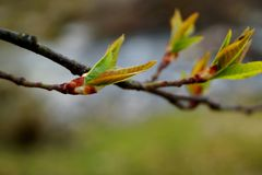 Prunus padus is starting to sprout in the spring. Photo taken in Orimattila Päijät-häme Finland. Prunus padus is getting its leaves and flower buds. Also Royalty Free Stock Photo