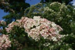 Prunus Padus vogelkers Royalty Free Stock Images
