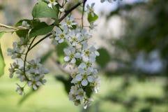 Prunus padus weiße Blumen, europäische Vogel-Kirsche in der Blüte Stockfoto