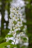 Prunus padus weiße Blumen, europäische Vogel-Kirsche in der Blüte Lizenzfreie Stockfotografie