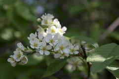 Prunus padus weiße Blumen, europäische Vogel-Kirsche in der Blüte Lizenzfreie Stockfotos
