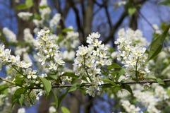 Prunus padus weiße Blumen, europäische Vogel-Kirsche in der Blüte Lizenzfreie Stockbilder