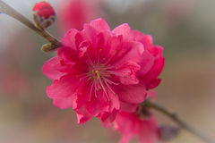 Prunus persica Royalty Free Stock Images