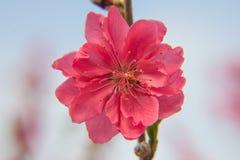 Prunus persica Stock Photos