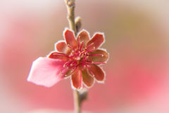Prunus Persica 免版税库存图片