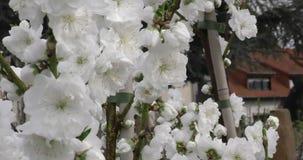 Prunus persica-de lente bloeit op de lengte van het takkenclose-up 4K 2160p 24fps UltraHD - Vergankelijke perzikboom tegen blauw stock videobeelden
