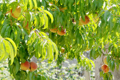Prunus persica le pêcher 3 Images libres de droits