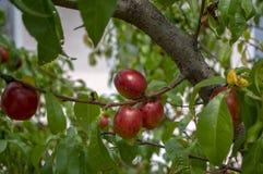 Prunus persica nucipersica gałąź pełno czerwone owoc, dojrzewający gładkie skór brzoskwinie na drzewie zdjęcie stock