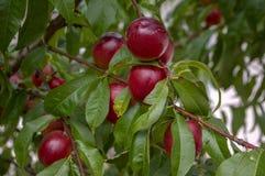 Prunus persica nucipersica gałąź pełno czerwone owoc, dojrzewający gładkie skór brzoskwinie na drzewie obrazy stock