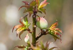 Prunus persica oder Pfirsich Lizenzfreie Stockbilder