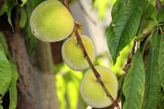 Prunus persica, Peach. Deciduous tree with lanceolate leaves and drupe fruit with densely hairy skin and wrinkled stone, pulp delicious and sweet Stock Photography