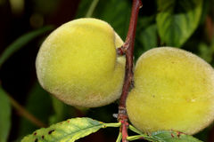 Prunus persica, Peach. Deciduous tree with lanceolate leaves and drupe fruit with densely hairy skin and wrinkled stone, pulp delicious and sweet Royalty Free Stock Photo
