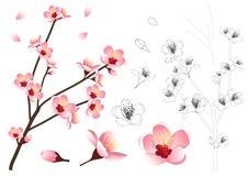 Prunus persica - Peach Flower Blossom Outline. Vector Illustration. isolated on white Background. Prunus persica - Peach Flower Blossom Outline. Vector vector illustration