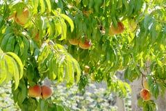 Prunus persica perzikboom 3 royalty-vrije stock afbeeldingen