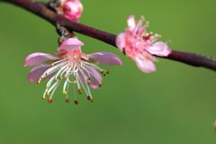 Prunus - Pink flowers Stock Photo