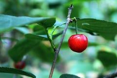 Prunus pseudocerasus Lizenzfreie Stockbilder