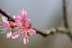 Prunus - rosa färgblommor royaltyfri bild