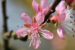 Prunus - rosa färgblommor royaltyfri foto