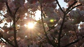 Prunus Royal Burgundy. In Yamaguchi University Stock Photos