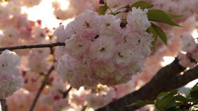 Prunus Royal Burgundy. In Yamaguchi University Royalty Free Stock Images