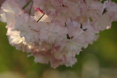 Prunus Royal Burgundy. In Yamaguchi University Royalty Free Stock Image