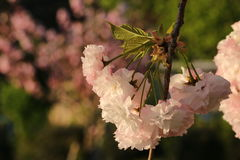 Prunus Royal Burgundy. In Yamaguchi University Stock Photography
