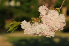 Prunus Royal Burgundy. In Yamaguchi University Royalty Free Stock Photography