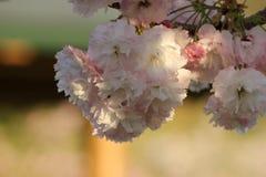 Prunus Royal Burgundy. In Yamaguchi University Royalty Free Stock Photos