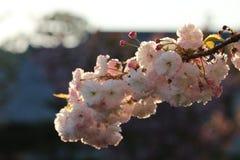 Prunus Royal Burgundy. In Yamaguchi University Stock Photo