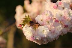 Prunus Royal Burgundy. In Yamaguchi University Stock Image