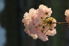 Pink Prunus. Prunus Royal Burgundy in Yamaguchi University Royalty Free Stock Image