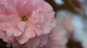 Prunus Royal Burgundy. In Yamaguchi University Stock Images