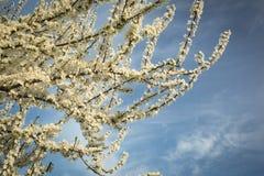Prunus rozgałęzia się w kwiacie obrazy stock