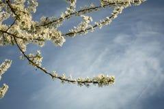 Prunus rozgałęzia się w kwiacie zdjęcie royalty free