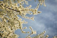 Prunus rozgałęzia się w kwiacie obraz royalty free