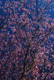 Prunus Royalty Free Stock Photography