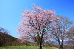 Prunus sargentii and blue sky Royalty Free Stock Photos