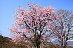 Prunus sargentii and blue sky Royalty Free Stock Images