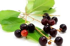 Prunus serotina Früchte Lizenzfreie Stockfotos