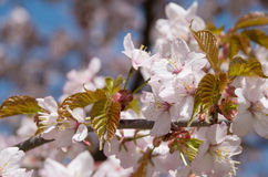 Prunus serrulata Stock Photography