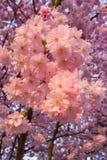 Prunus serrulata Royalty Free Stock Images