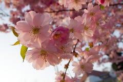Prunus serrulata Stock Photo