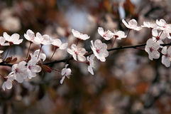 Prunus serrulata flower Royalty Free Stock Images