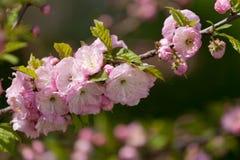Prunus serrulata or Japanese Cherry Royalty Free Stock Images