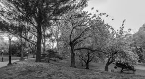Prunus serrulata or Japanese Cherry Stock Image