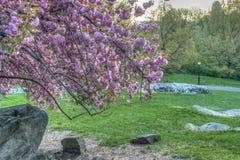 Prunus serrulata or Japanese Cherry Royalty Free Stock Photo