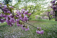 Prunus serrulata; Japanese Cherry; Stock Photo