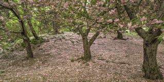 Prunus serrulata or Japanese Cherry Stock Photos